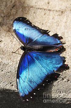 Blue Butterfly by Pamela Lecavalier