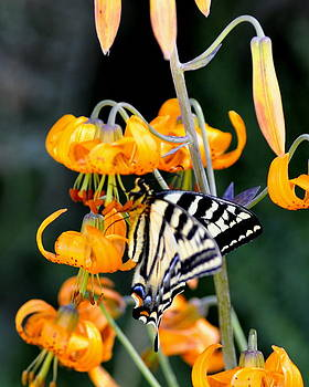 Butterfly on Lily by Scott Gould