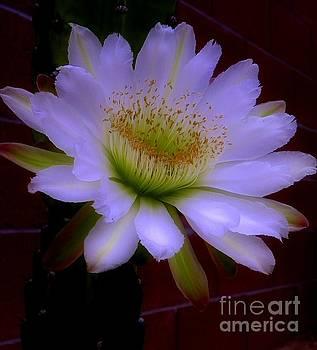 Cactus Blossom II by Elma Sulek