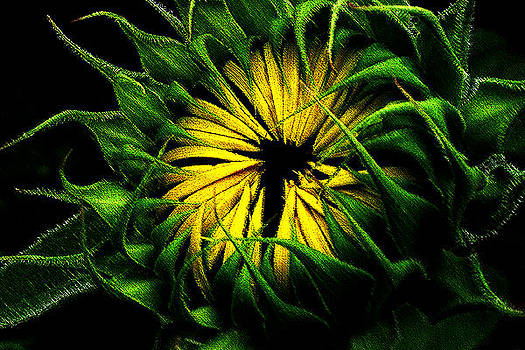Canadian Sunflower by Malcolm Lorente