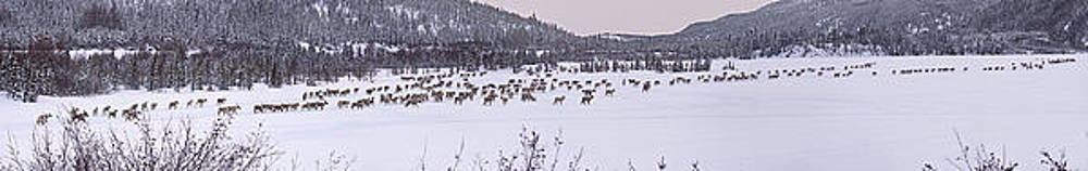 Caribou Below LG3 by Gordon Darlington