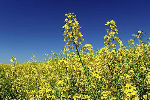 Cole-seed Flowering by Erik Tanghe