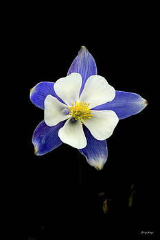 Colorado Columbine by Darryl Gallegos