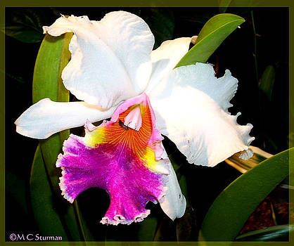 Colorful Orchid Photo by M C Sturman
