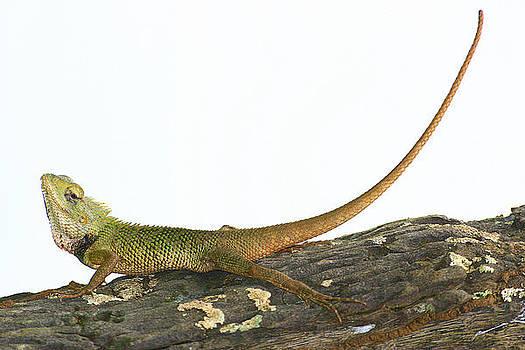Common Garden Lizard by Sydney Alvares
