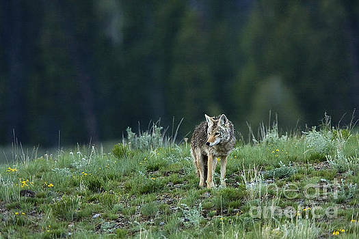 Coyote in Yellowstone by Matt Tilghman