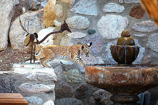 Cub gets a drink by Dan Nelson