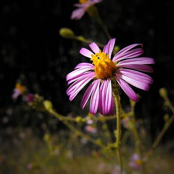 Daisy by Skye Zambrana