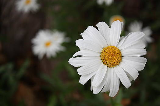 Daisy's by Tanya Peters