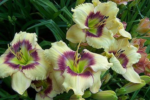 Daylily Ornamental Focus by Sandy Collier