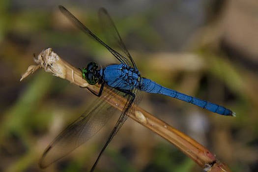 DragonFly Blue by Gary  Taylor