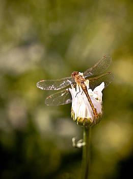 Dragonfly by Tamara Hamula
