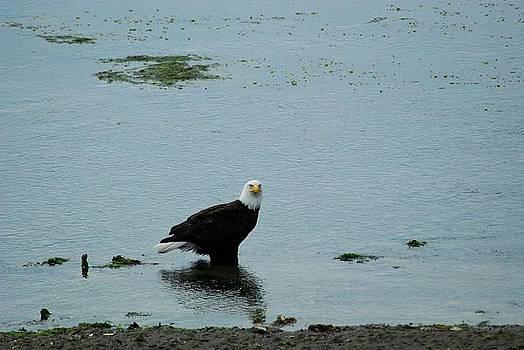 Eagle at Low Tide by Wanda Jesfield