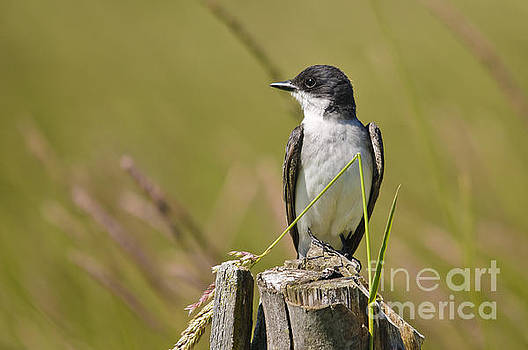 Eastern Kingbird on the watch by Christine Kapler