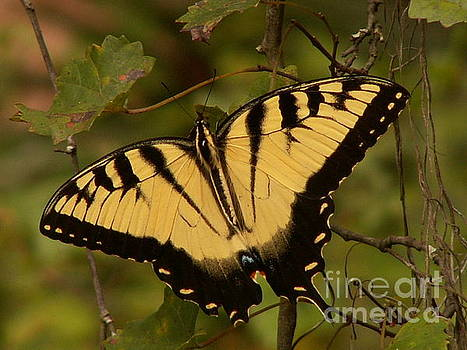 Eastern Tiger Swallowtail by Theresa Willingham