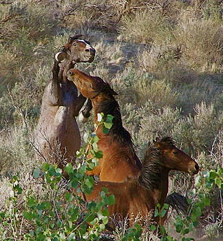 Fighting Mustangs by Sally Hanrahan