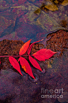 Floating Fall Sumac by Barbara Schultheis