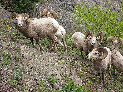 Glacier Bighorn Sheep by Scott Manning