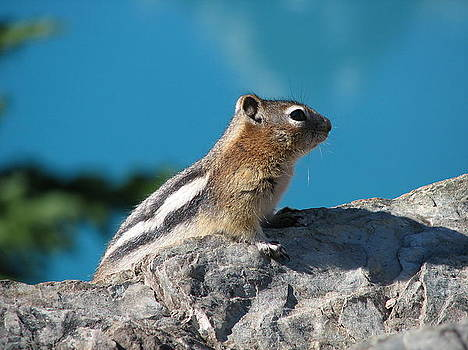 Golden Mantled Ground Squirel by Keith Rohmann