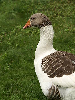 Goose by Cindy Carr