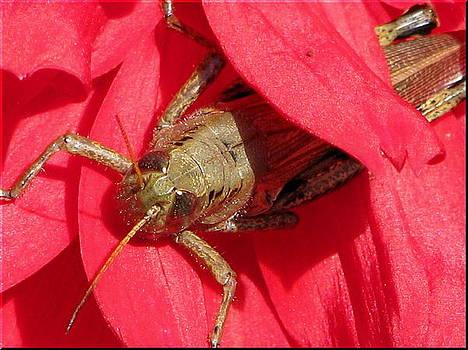 Grasshopper In A Dahlia by Victoria Sheldon