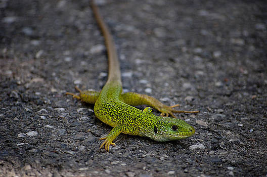 Green Lizard by Almira Rahmani