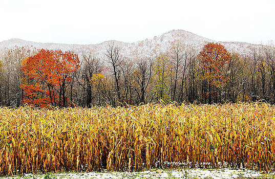 Harvest Snow by Carolyn Postelwait