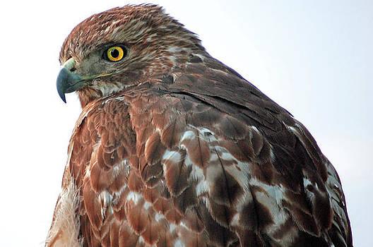 Hawk by Donnie Smith