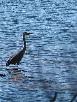 Heron Blue by Ron Holiday Broomell