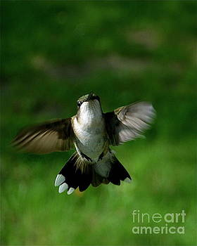 Hovering Hummingbird  by Sue Stefanowicz