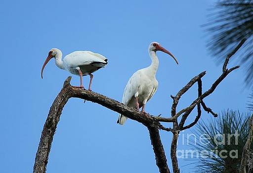Ibis Pair by Theresa Willingham