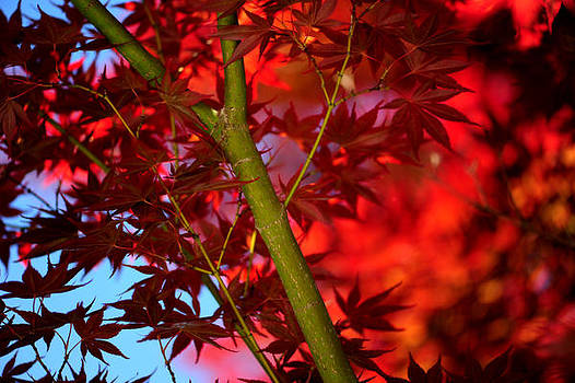Japanese Maple by Frank DiGiovanni