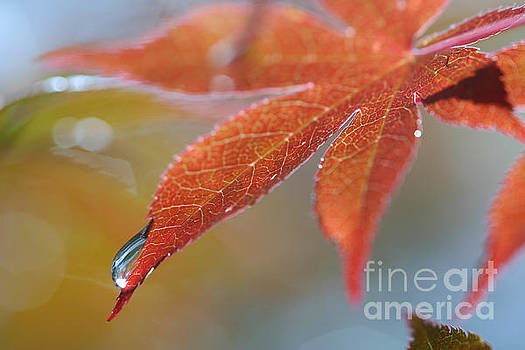 Japanese Maple Macro by Matt Tilghman