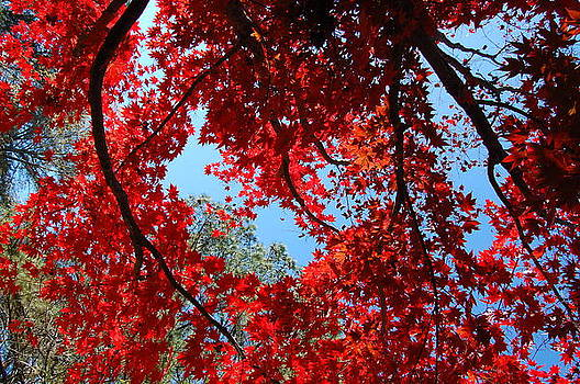 Japanese Maple by Paul Thomley