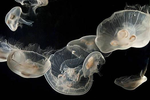 Jellyfish Study by Andrew Kazmierski