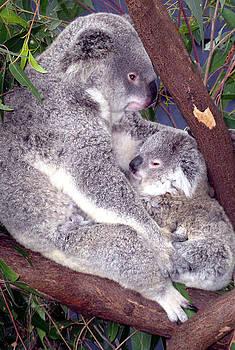 Koala  by Joanne Seath