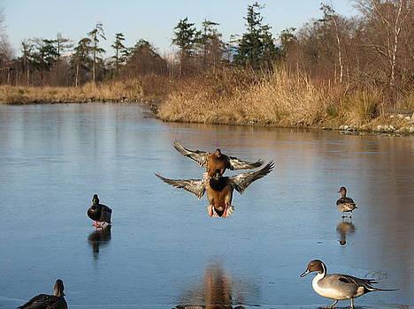 Landing Mallards by Keith Rohmann