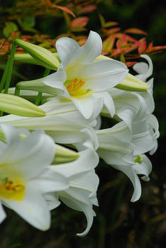 Lilies of Easter by Wanda Jesfield