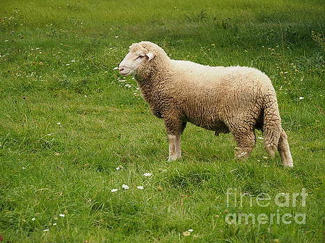 Lost Sheep by Valerie Morrison