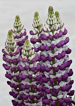 Lupins by Julie Williams