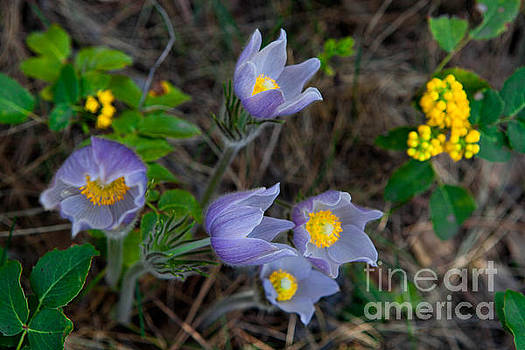 Mahonia and Pasqueflowers by Barbara Schultheis