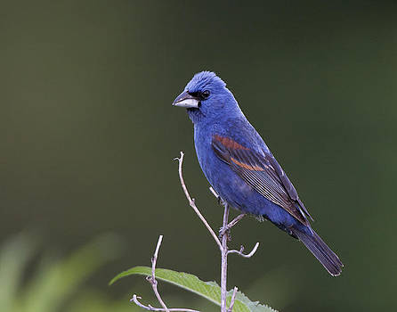 Male Blue Grosbeak by Ruhikanta Meetei