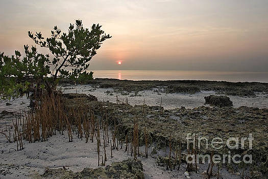 Mangrove at Low Tide by Matt Tilghman