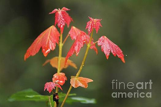 Maple Leaves in the Rain by Theresa Willingham