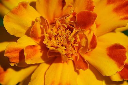 Marigold Flower by Bonnie Boden