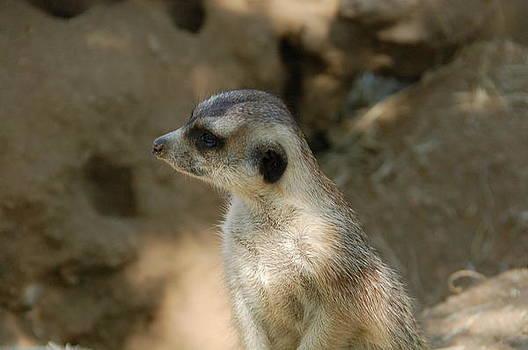 Meerkat 1 by Jenifer Dickson