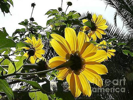 Mexican Sunflowers by Theresa Willingham
