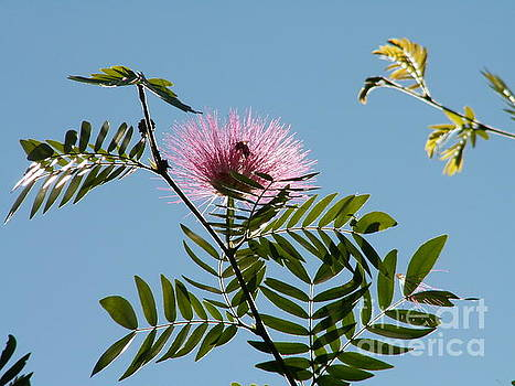 Mimosa Flower  by Theresa Willingham