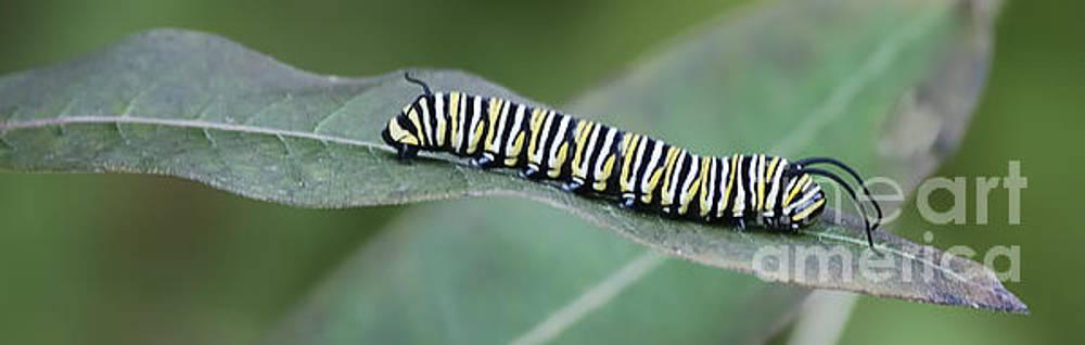 Monarch Caterpillar by Randy Bodkins