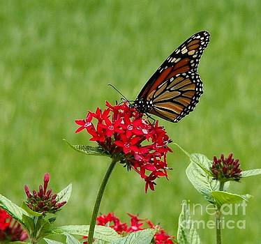 Monarch on a Penta by Theresa Willingham